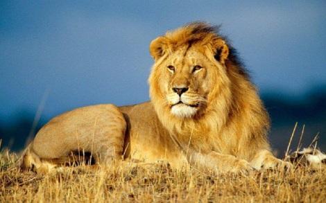 regele-leu1
